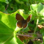 cacyreus-marshalli brun du pelargonium (c) vincent-malloy
