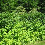 renoutria-spp. (c) s.-varray-fcen - Centre de ressources EEE