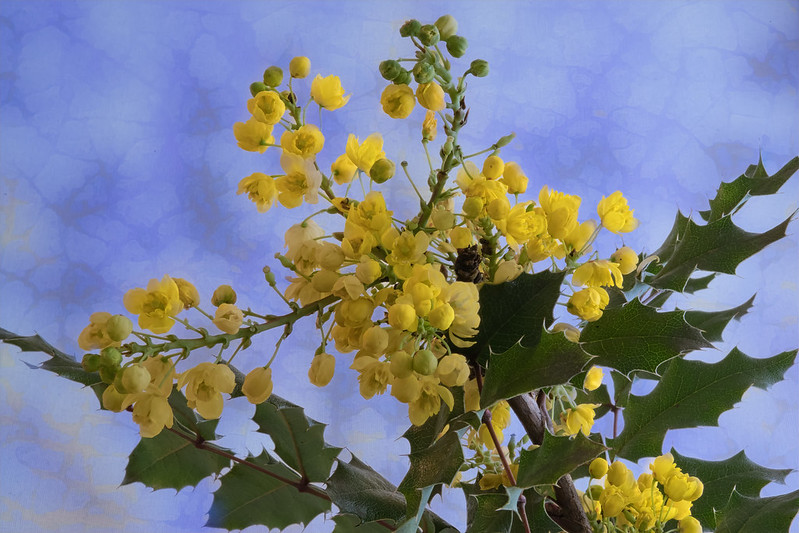Berberis aquifolium (c) David Meurin - Centre de ressources