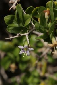 Lycium ferocissimum avec une fleur (c) Fabienne Niebler